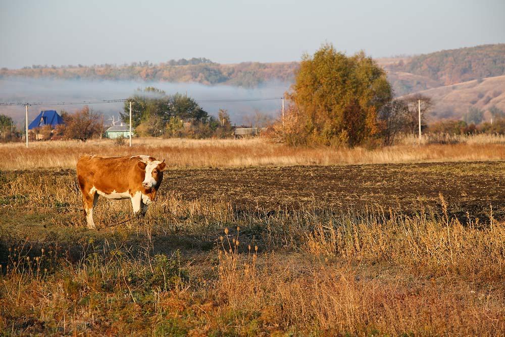 Осенняя корова